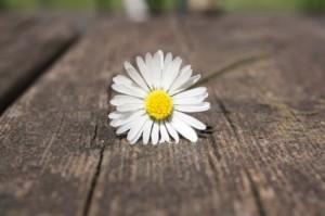 daisy_flower_hand_215148